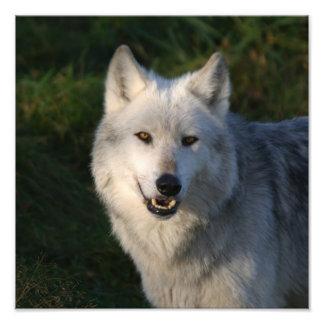 Lobo de madera canadiense canadiense del lobo de m fotografía