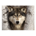 Lobo de madera de Jim Zuckerman Postal