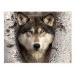 Lobo de madera de Jim Zuckerman Tarjetas Postales
