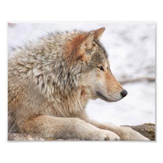Lobo de madera masculino en cierre de la nieve fotografías