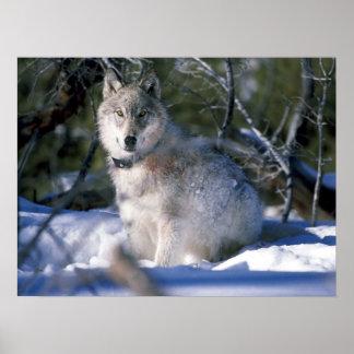 Lobo de madera norteamericano en nieve posters