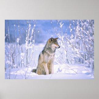 Lobo de madera que se sienta en la nieve, lupus de poster