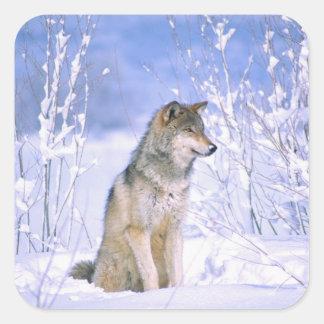 Lobo de madera que se sienta en la nieve, lupus de pegatina cuadrada