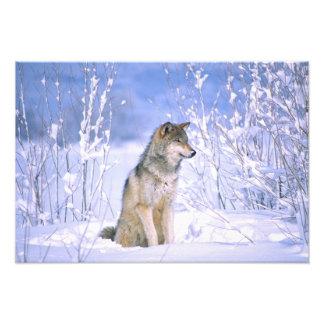 Lobo de madera que se sienta en la nieve, lupus de arte fotográfico