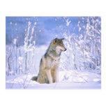 Lobo de madera que se sienta en la nieve, lupus de tarjetas postales
