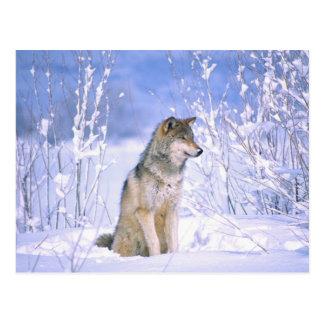 Lobo de madera que se sienta en la nieve, lupus de postal