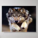Lobo de salto posters