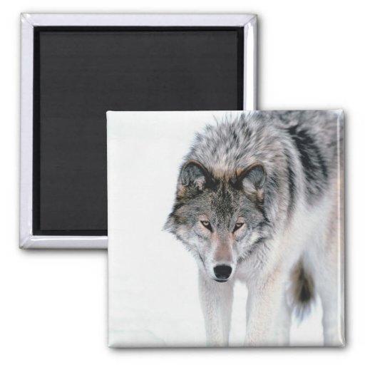 Lobo de vagabundeo imanes para frigoríficos