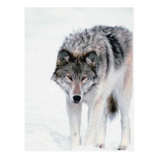 Lobo de vagabundeo postales