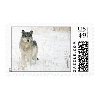 Lobo de Yellowstone - modificado para requisitos Envio