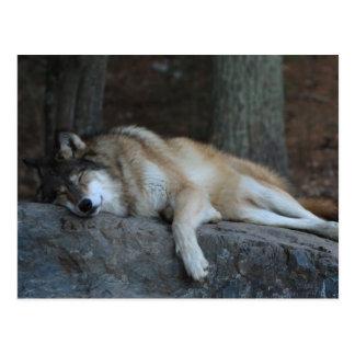Lobo el dormir de Minnesota septentrional Postales