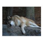 Lobo el dormir de Minnesota septentrional Tarjeta Postal