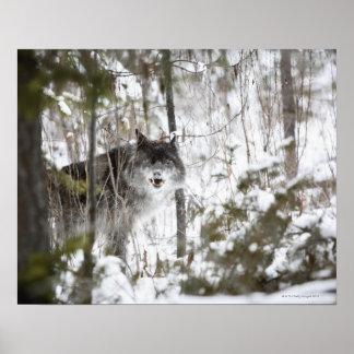 Lobo en el bosque en invierno posters