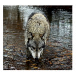 Lobo en el vagabundeo impresiones