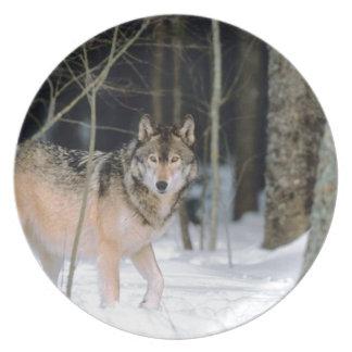 Lobo en placa fotográfica de la nieve plato de comida