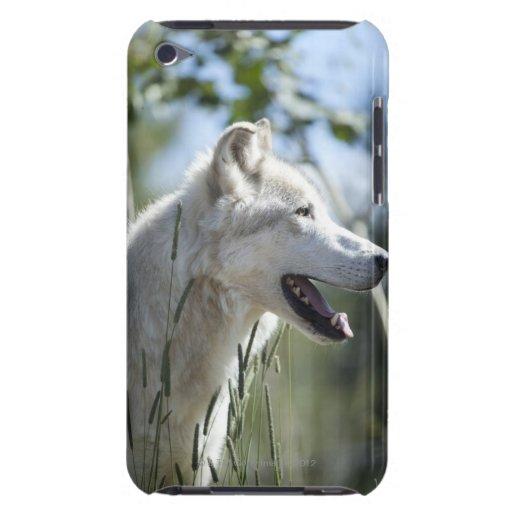 Lobo en Yellowstone. iPod Case-Mate Cárcasas