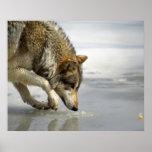 Lobo - escabulliéndose para arriba en el queso posters
