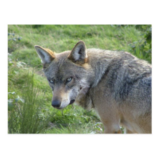 Lobo europeo postales