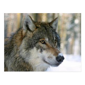 Lobo europeo tarjeta postal