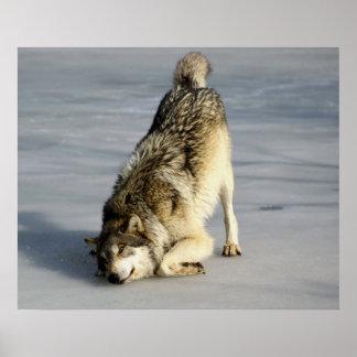 Lobo feliz en la charca congelada impresiones