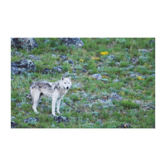 Lobo gris 1 impresión en lona
