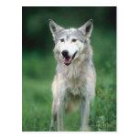 Lobo gris 2 tarjeta postal