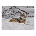 Lobo gris americano tarjetón