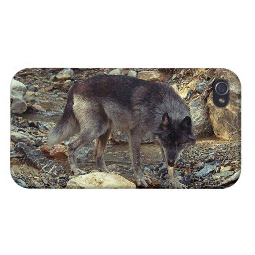 Lobo gris, animal salvaje, canino iPhone 4/4S carcasas