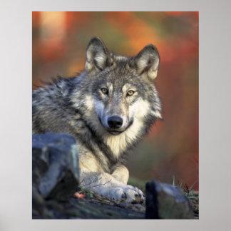 Lobo gris Canis_lupus de los lobos Póster