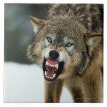 Lobo gris del gruñido azulejos
