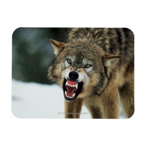 Lobo gris del gruñido imanes