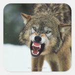 Lobo gris del gruñido calcomanías cuadradass personalizadas