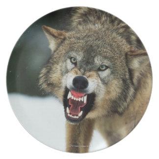 Lobo gris del gruñido platos de comidas