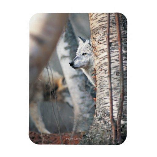 Lobo gris detrás del árbol iman rectangular