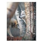 Lobo gris detrás del árbol postal