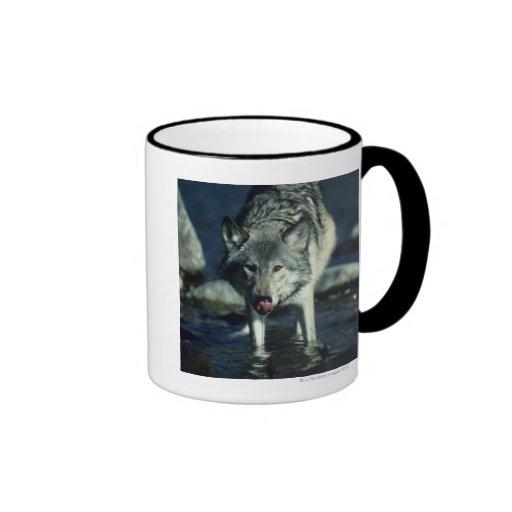 Lobo gris en la consumición del otoño taza de dos colores