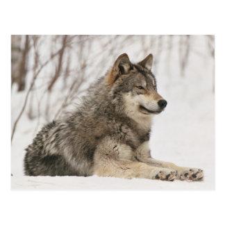 Lobo gris en la nieve tarjeta postal