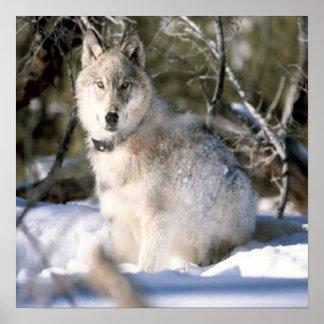 Lobo gris en poster del invierno