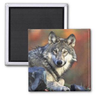 Lobo gris imán