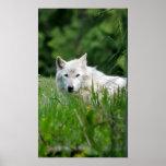 Lobo gris impresiones
