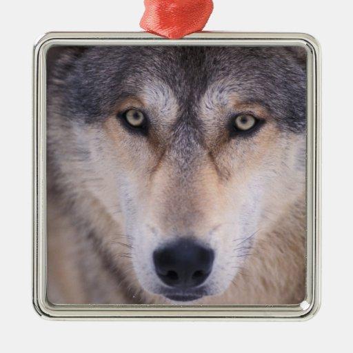 lobo gris, lupus de Canis, cierre para arriba de Adorno Navideño Cuadrado De Metal