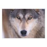 lobo gris, lupus de Canis, cierre para arriba de o Cojinete