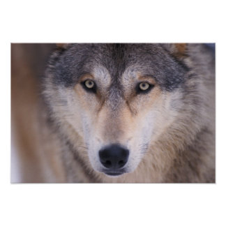 lobo gris, lupus de Canis, cierre para arriba de o Póster