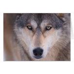lobo gris, lupus de Canis, cierre para arriba de o Tarjeta De Felicitación