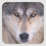 lobo gris, lupus de Canis, cierre para arriba de Pegatina Cuadrada