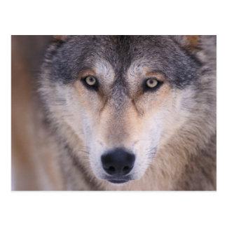 lobo gris, lupus de Canis, cierre para arriba de Tarjeta Postal