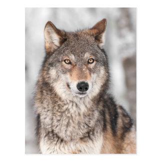 Lobo gris (lupus de Canis) con una parte posterior Postales