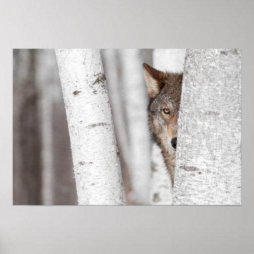 Lobo gris (lupus de Canis) detrás del árbol Poster