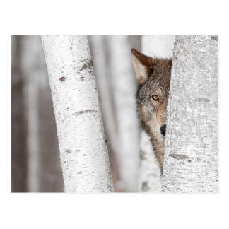 Lobo gris (lupus de Canis) detrás del árbol Postal