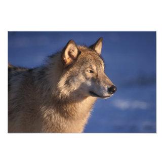 lobo gris, lupus de Canis, en las colinas de 2 Foto